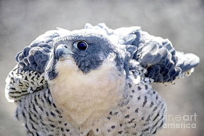 Photograph - Peregrine Falcon by Angie Rea
