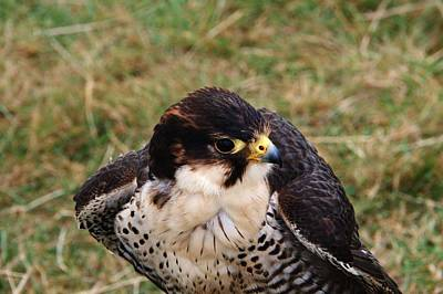 Photograph - Peregrine Falcon by Chris Day