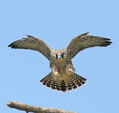 Spotted Bird Photograph - Peregrine Falcon Concentration by ML Lombard