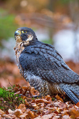 Photograph - Peregrine Falcon by David Hare