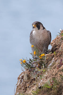 Kent Photograph - Peregrine Falcon by Ian Hufton
