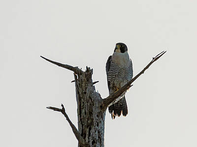 Photograph - Peregrine Falcon In A Snag by Loree Johnson