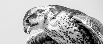 Peregrine Falcon In Black And White Art Print