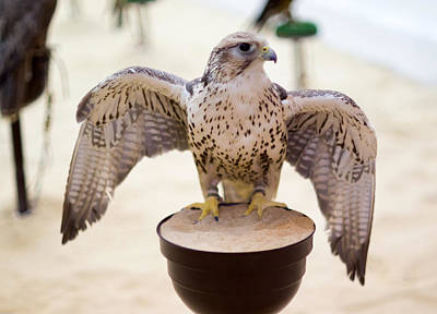 Photograph - Peregrine Falcon In Doha Souq by Paul Cowan