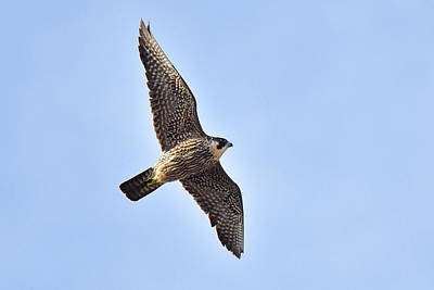 Photograph - Peregrine Falcon In Flight by Alan Lenk