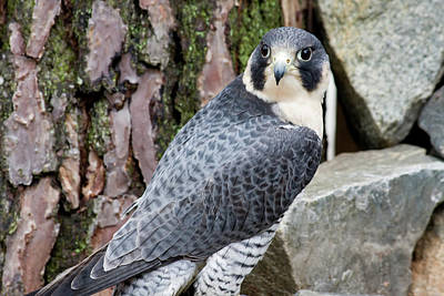 Photograph - Peregrine Falcon by Jill Lang