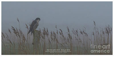 Photograph - Peregrine Falcon by Jorgen Norgaard