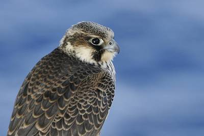 Photograph - Peregrine Falcon Juvenile Close Up by Bradford Martin
