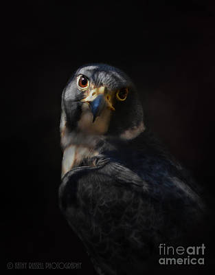 Peregrine Falcon Art Print by Kathy Russell
