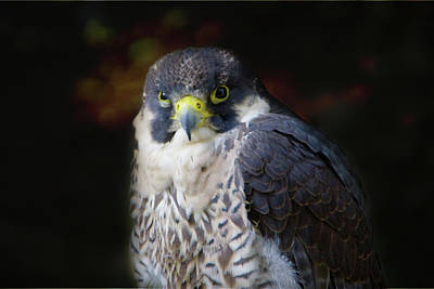 Photograph - Peregrine Falcon by Marilyn Wilson
