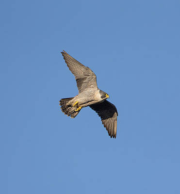 Photograph - Peregrine Falcon by Peter Walkden