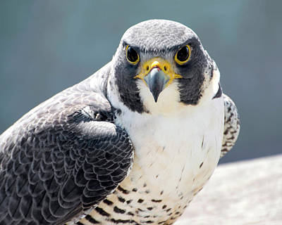 Photograph - Peregrine Falcon Portrait 2 by Peter Green