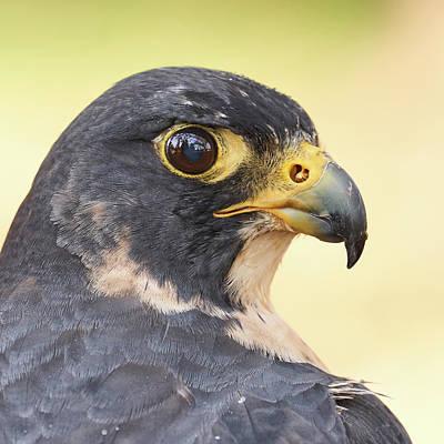 Peregrine Photograph - Peregrine Falcon Portrait by Jim Hughes