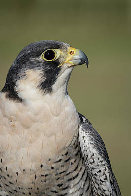 Photograph - Peregrine Falcon Portrait - Winged Ambassadors by Dawn Currie