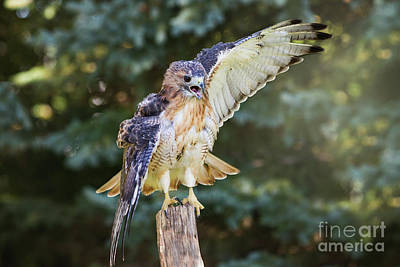 Night Hawk Wall Art - Photograph - Peregrine Falcon Power by Sharon McConnell