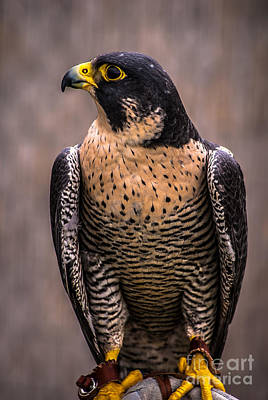 Photograph - Peregrine Falcon Profile by Blake Webster