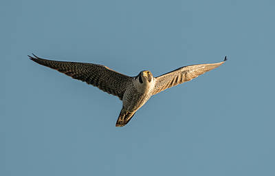 Photograph - Peregrine Falcon Soaring by Loree Johnson