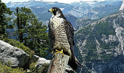 Yellowstone Mixed Media - Peregrine Falcon, Yosemite Valley, Western Sierra Nevada Mountain, Echo Ridge by Thomas Pollart