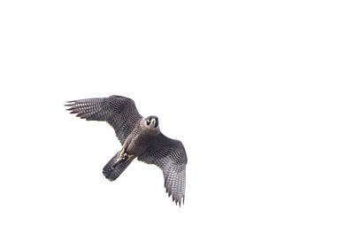 Photograph - Peregrine In Flight by Jennifer Ancker