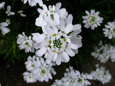 Photograph - Perennial Candytuft by Nancy Pauling