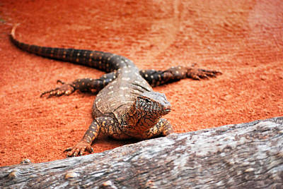 Photograph - Perentie Monitor Lizard by Michelle Wrighton