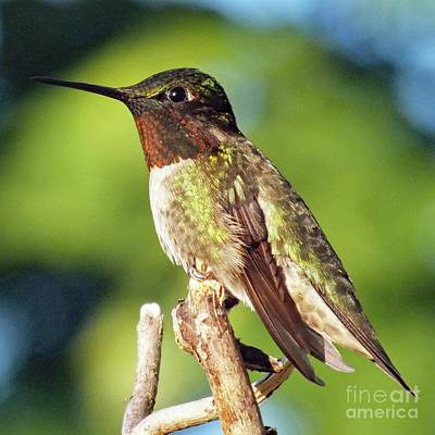 Louis Armstrong - Ruby-throated Hummingbird Perfect Male Model by Cindy Treger