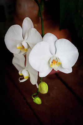 Photograph - Perfect Phalaenopsis Orchid  003 by Rich Franco