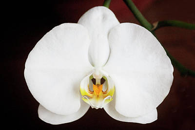 Photograph - Perfect Phalaenopsis Orchid  004 by Rich Franco