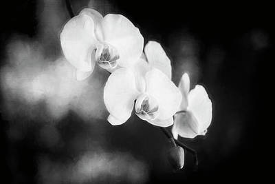 Photograph - Perfect Phalaenopsis Orchid Bw by Rich Franco
