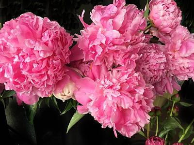 Photograph - Perfect Pink Peonies by Anne Sands