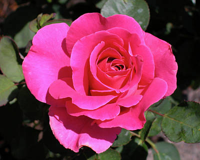 Photograph - Perfect Pink Rose by Michael Bessler