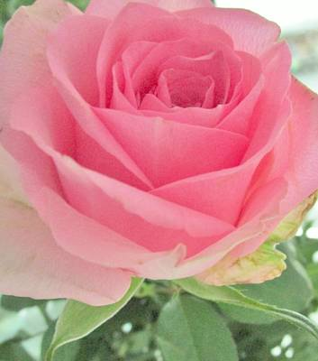 Photograph - Perfect Pink Rose by Sharon Ackley