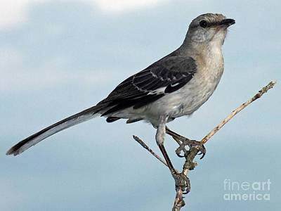 Animals Royalty-Free and Rights-Managed Images - Perfect Pose - Northern Mockingbird by Cindy Treger