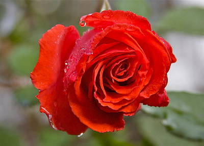 Perfect Red Rose Art Print by Robert Joseph