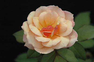 Michael Barry Photograph - Perfect Rose by Michael Barry