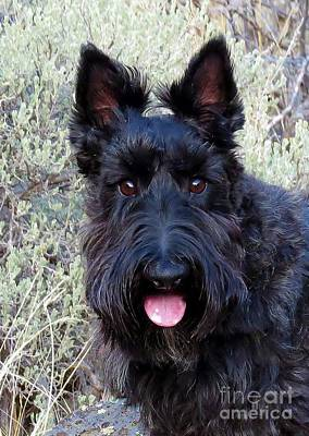 Photograph - Scottish Terrier Portrait by Michele Penner