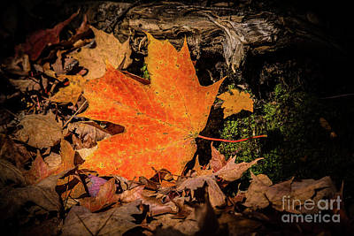 Photograph - Perfect Sunlit Maple Leaf by Cheryl Baxter