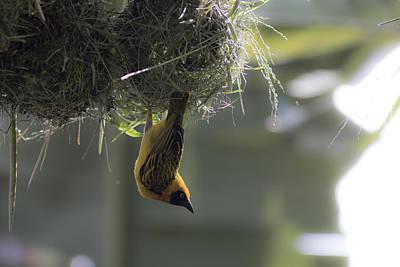 Photograph - Perfect Weaver by Ramabhadran Thirupattur