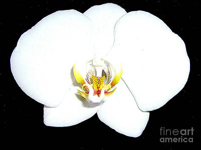 Photograph - Perfect White Orchid by Merton Allen