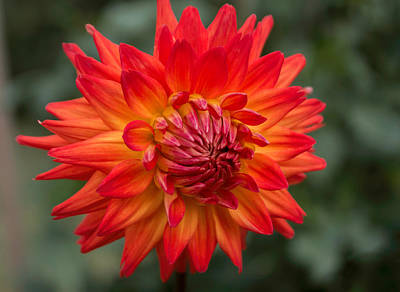 Photograph - Perfectly Dahlia by Arlene Carmel