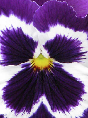 Photograph - Perfectly Pansy 01 by Pamela Critchlow