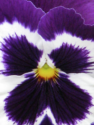 Photograph - Perfectly Pansy 02 by Pamela Critchlow