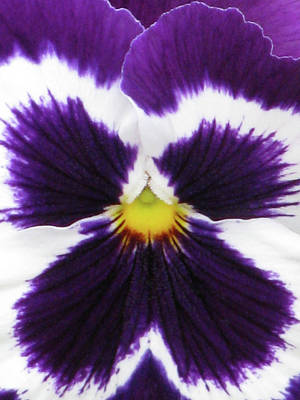 Photograph - Perfectly Pansy 03 by Pamela Critchlow