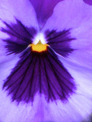 Photograph - Perfectly Pansy 04 by Pamela Critchlow