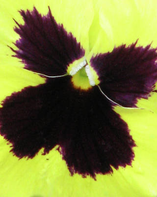 Photograph - Perfectly Pansy 05 by Pamela Critchlow