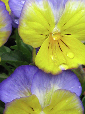 Photograph - Perfectly Pansy 11 by Pamela Critchlow