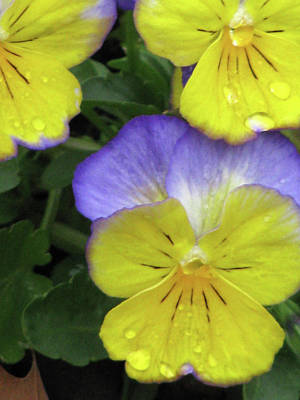 Photograph - Perfectly Pansy 12 by Pamela Critchlow