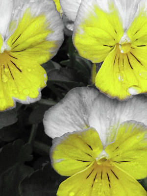 Photograph - Perfectly Pansy 13 - Bw - Yellow by Pamela Critchlow