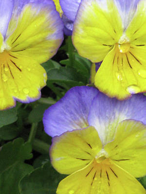 Photograph - Perfectly Pansy 13 by Pamela Critchlow