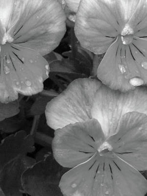Photograph - Perfectly Pansy 14 - Bw by Pamela Critchlow